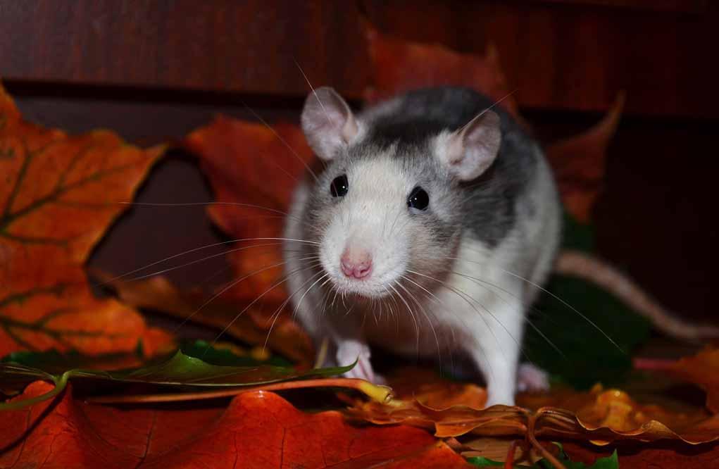 krafttier-ratte